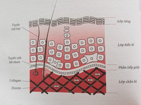 Cấu trúc cơ bản của da